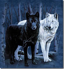 Black and White Wolves1