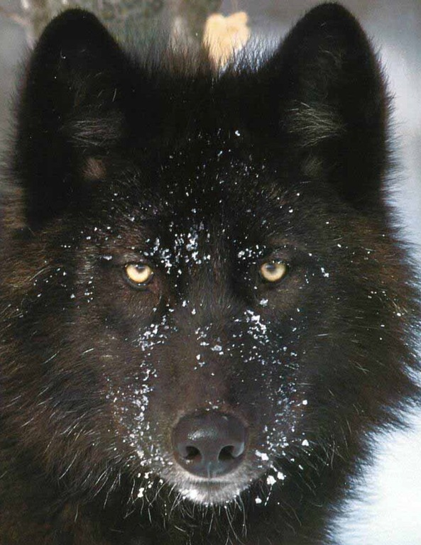 black wolf green eyes-#9