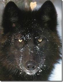 Black Wolf1