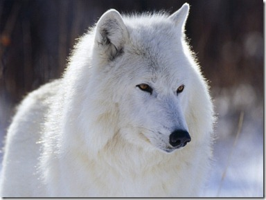 White Wolf1