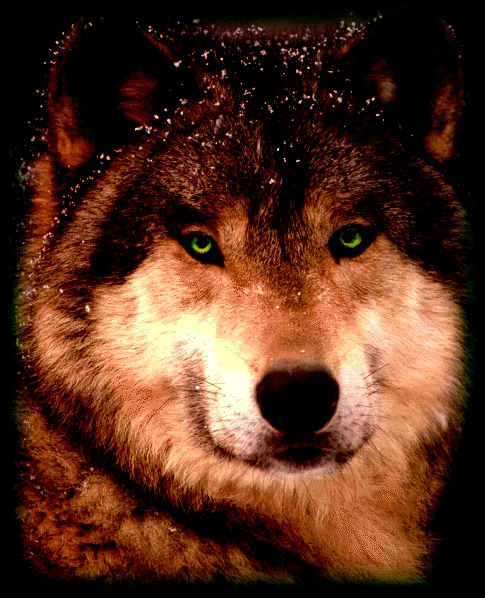Light brown wolf with blue eyes - photo#27