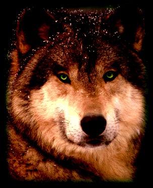 Brown Wolf2