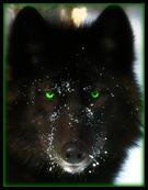 Black Wolf2